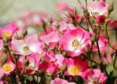 wild-rose-364407_1920