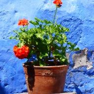 Plante maltraitée, besoin d'être réconfortée ! Oui, oui... c'est possible avec les fleurs de Bach